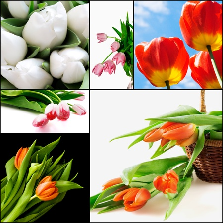 Red and white tulips as a natural background photo