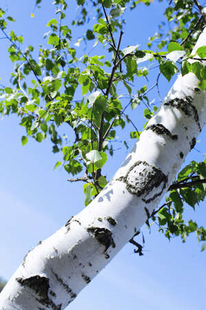 Trunk and green leaves of a birch against the sky photo