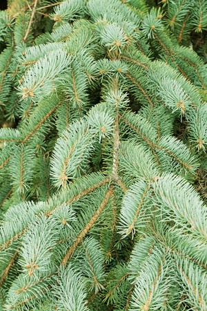 space needle: green needles of a coniferous tree as a natural background Stock Photo