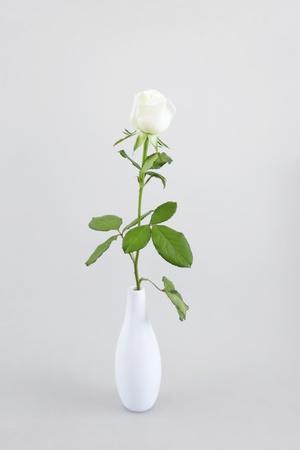 long stem roses: gentle cream rose on a light background Stock Photo