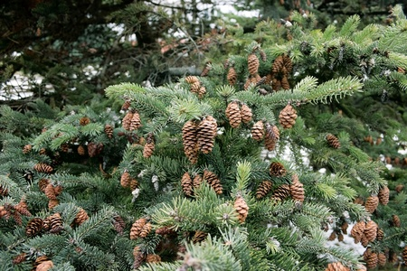 siberian pine: cones and spruce twigs as a christmas background Stock Photo