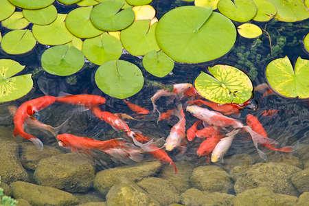 pez carpa: Koi