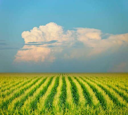 corn field Stock Photo - 10086771