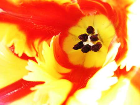 pistil: Stamens and pistil of tulip