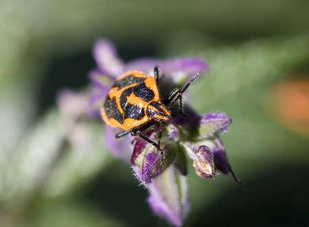 Stink beetle macro Stock Photo