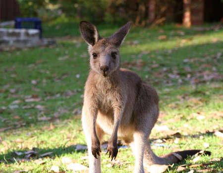 animal pouch: Little kangaroo Stock Photo