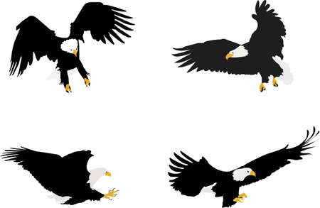 bird of prey: bald eagles illustration