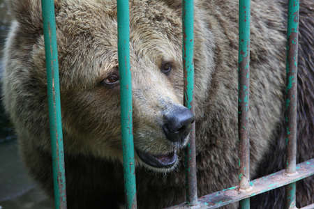captivity: Bear in captivity