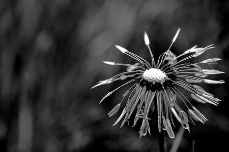 The focus in a center dandelion