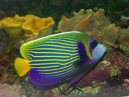 Beautiful exotic multicolored fish among the corals in the tropical sea