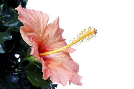 Pink hibiscus and foliage Stock Photo - 309223