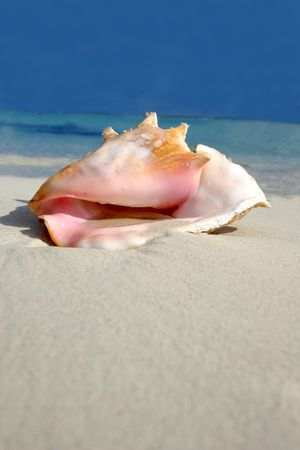 riviera maya: Conch on white sand beach, Riviera Maya, Mexico Stock Photo
