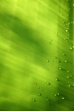 Banana leaf backlit with water drops photo