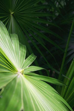 rampant: Palm tree leaves in undergrowth of tropical forest