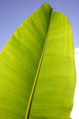 thrive: Banana leaf against blue sky Stock Photo