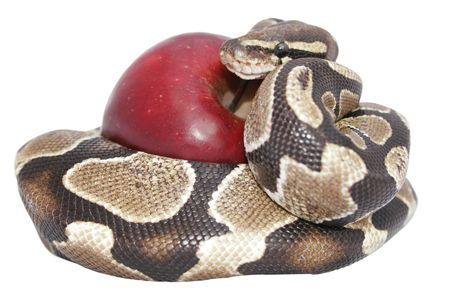 Snake and red apple isolated, temptation concept, includes Stock Photo - 325866