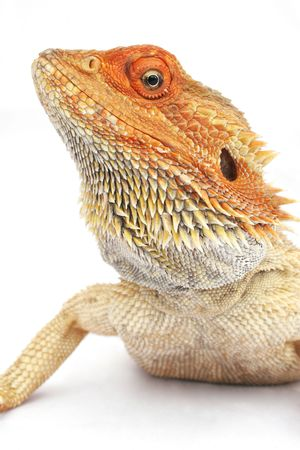 cold blooded: Orange headed bearded dragon Stock Photo