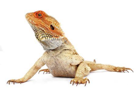 desert lizard: Bearded dragon on white background