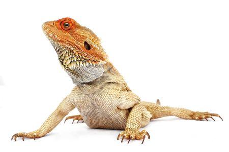 dragones: Dragón barbudo en el fondo blanco Foto de archivo