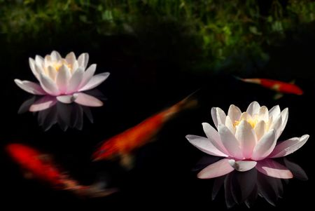 appearing: Waterlily flowers and goldfish in dark pool with bank appearing in the background Stock Photo