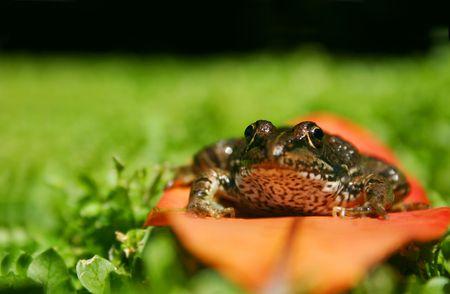 Rana Perezei sitting on a leaf in a field photo