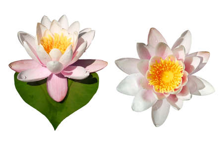 undefined: Isolated waterlily flowers, one with heart -shaped leaf; clipping paths included