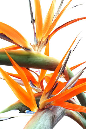 but: Strelitzia flowers over white; A natural but chaotic background Stock Photo