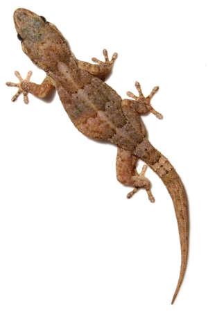 Tarentola gecko on white wall