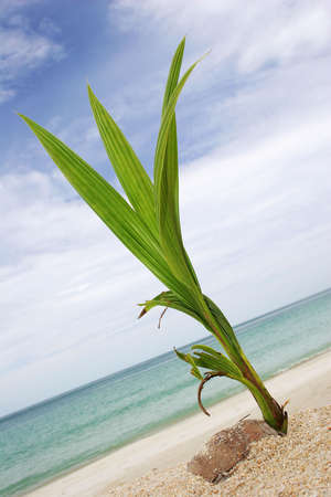 coconut seedlings: Coconut shoot on tropical beach