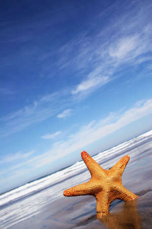 echinoderm: Starfish on the beach with blue cloudscape