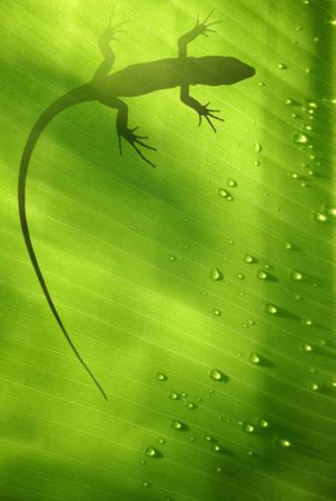 Banana leaf backlit with water drops and lizard shadow Stock Photo - 649664