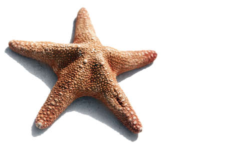 echinoderm: High contrast starfish on white with bright sunlight shadow