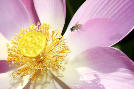 Macro of sacred lotus flower showing stamens  Stock Photo - 801258