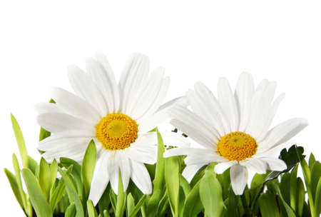 centres: Two white daisies with yellow centres growing in fresh green grass with a pure white background