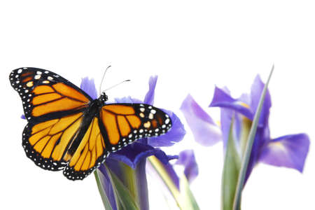 Monarch butterfly on blue flowers with blue isris photo