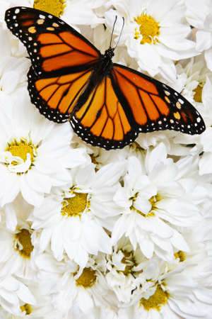 Monarch butterfly on mass of white flowers photo