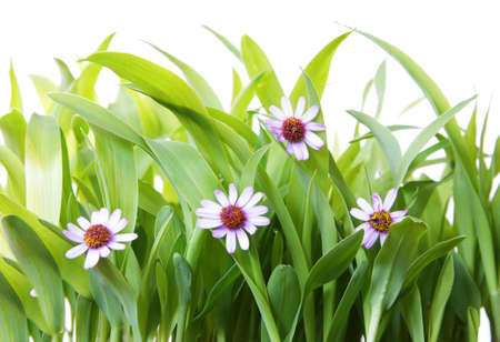 Fresh grass shoots over pure white background with purple flowers Stock Photo