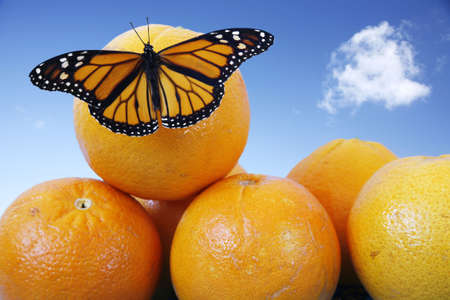 Monarch butterfly on juicy oranges with blue sky Stock Photo