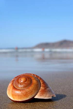 Lovely warm brown seashell on sunny beach