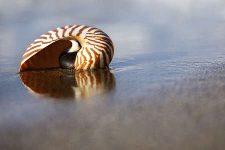 Nautilus on the waters edge on sandy beach