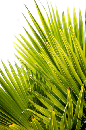 luxuriant: Backlit jungle palm leaves with white background Stock Photo