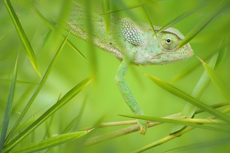 the thicket: Green African Chameleon hiding in a green thicket