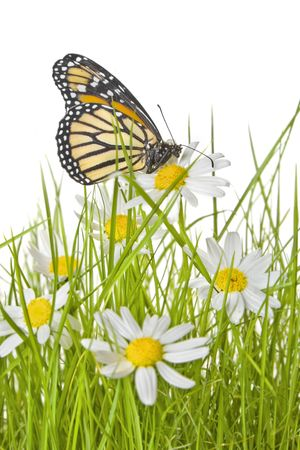 A monarch butterfly on white and yellow daisies on a lawn with a white background Stock Photo - 6069269