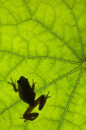 treefrog: Tree frog backlit on a leaf