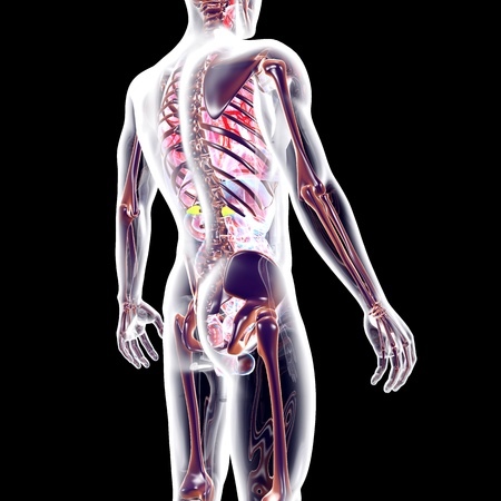 bowels: The internal adrenal Organs. 3D rendered anatomical illustration.