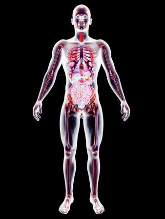 The internal adrenal Organs. 3D rendered anatomical illustration. Stock Illustration - 21159415