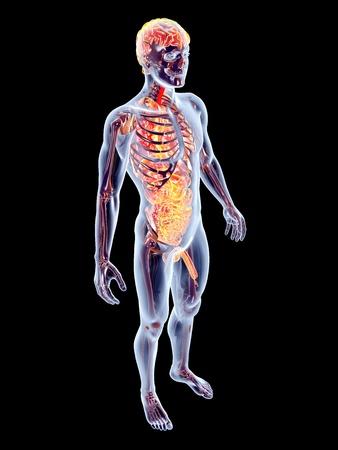 The internal adrenal Organs. 3D rendered anatomical illustration. Stock Illustration - 22092775