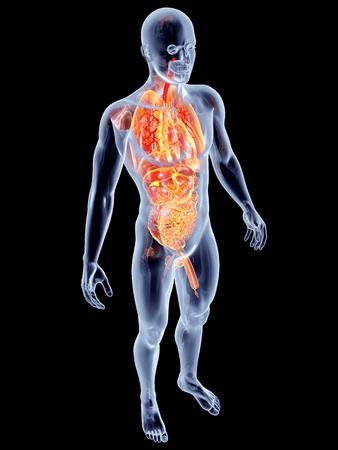 intestinos: Los ?rganos suprarrenales internos. 3D prestados ilustraci?n anat?mica. Foto de archivo