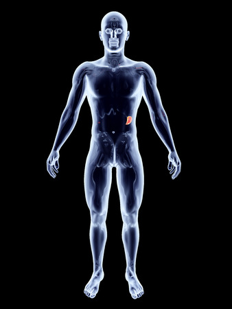 The Spleen. 3D rendered anatomical illustration. illustration
