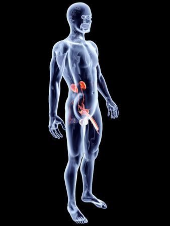 genitali: Il sistema urinario umano con genitali maschili. 3D rendering illustrazione anatomica.